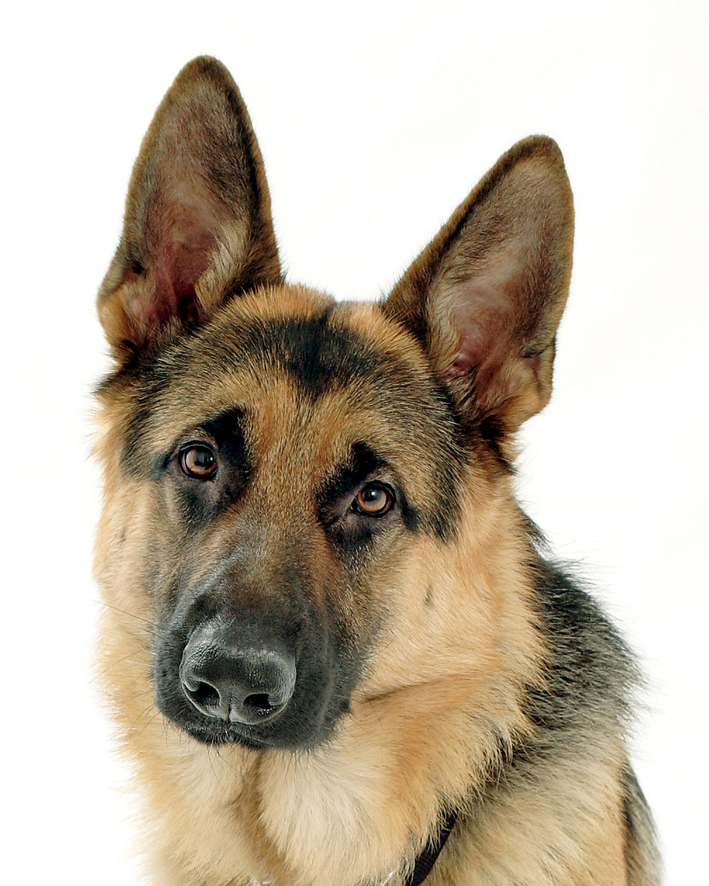 The 30 Most Dangerous Dog Breeds