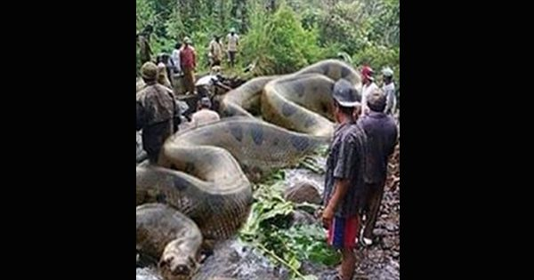 World's Largest Anaconda Discovered In The Mysterious Amazon River